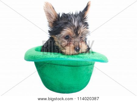 Yorkie Puppy in a Green Hat for Saint Patrick's Day