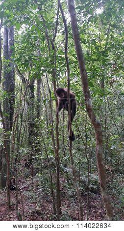mono salvaje
