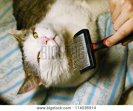 human hand with brush and male siberian cat