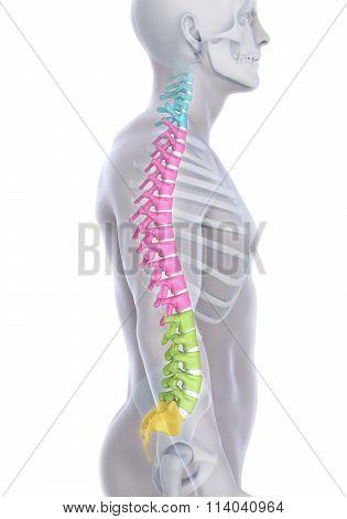 Human Male Spine Anatomy