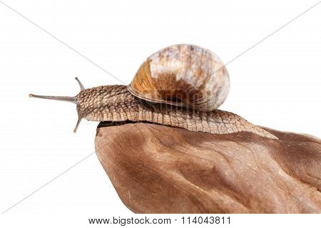 Snail Looking From Stone