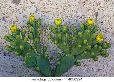 Cactus fruits, opuntia, fresh yellow cactus fruits, summer fruits, yellow fruits, season, eatable ca