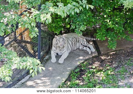 White Tiger In Caged  In Yalta Zoo