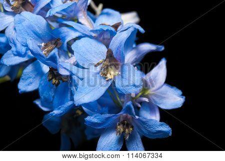 Larkspur, delphinium, Larkspur blue