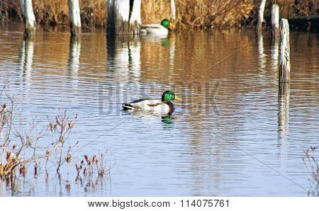 Mallard ducks swimming on calm waters at natural Marshlands