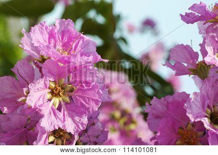 Pink Cananga