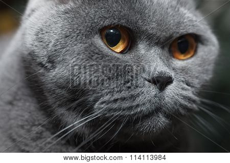 Muzzle Of Gray Cat
