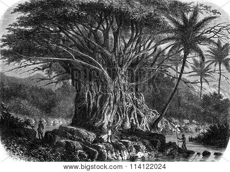 Colossal fig tree in the Anna-Maria Bay in Nuka Hiva, Oceania, vintage engraved illustration. Magasin Pittoresque 1869.