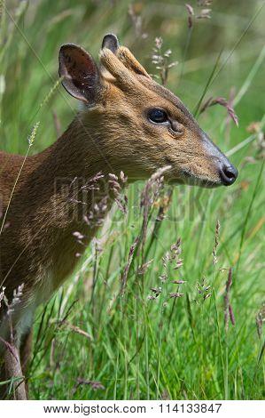 Muntjac Deer (Muntiacini)