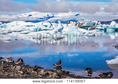 Summer in Iceland. Beautiful summer morning in the icy ocean lagoon with floating ice. On the coastal edge feeds a flock of birds -  Goose Branta leucopsis