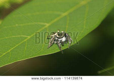 Multi-eyed Little Spider