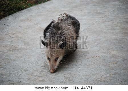 possum with babies