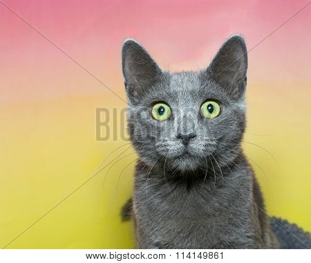 Surprised wide eyed grey short hair tabby cat with green eyes on a pink and yellow background