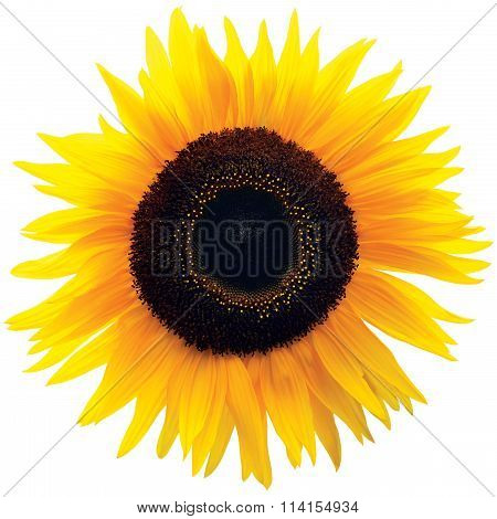 Common Sunflower Flower Head, Isolated Blooming Genus Helianthus H. Annuus, Large Bright Colorful Detailed Macro Closeup, Vibrant Petal Texture Pattern Detail, Black Brown Disk Florets, Annual Forb