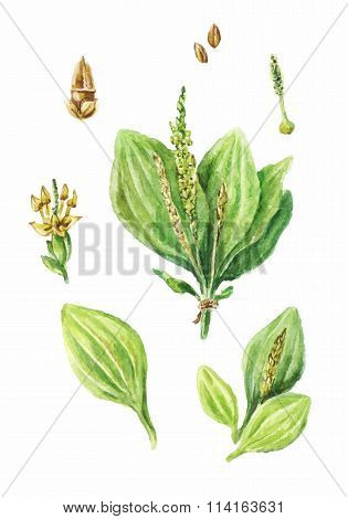 Colorful watercolor drawing of plantain isolated