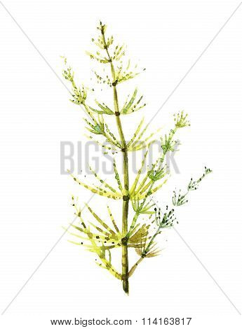 Equisetum. Drawing by hand