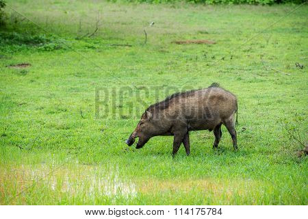 Wild Pig In Natural Habitat