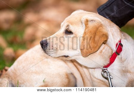 Portrait of a Labrador Puppy