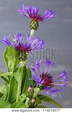 Cornflower (centaurea cyanus) close up over the blue blurred background.