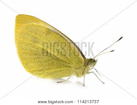 Yellow Pieridae Butterfly