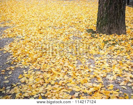 Yellow autumn ginko leave