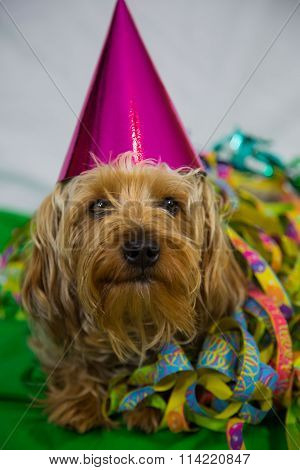 Yorkshire Terrier with hat, for carneval