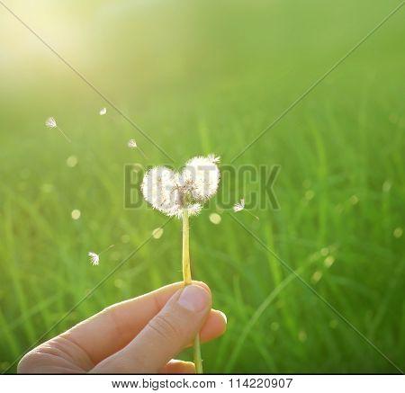 dandelion in shape of a heart