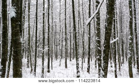 Young forest in winter