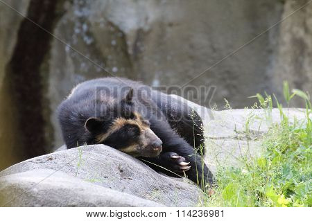 Spectacled Bear Resting On The Rocks Close To His Lair