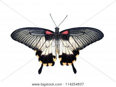 Butterfly - Swallowtail - Great Mormon (Papilio memnon) isolated