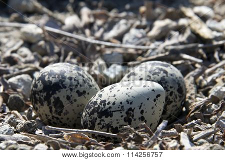 Killdeer nest with 3 eggs