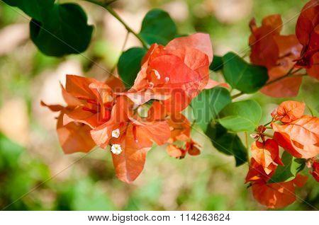 Colorful Bougainvillea flowers