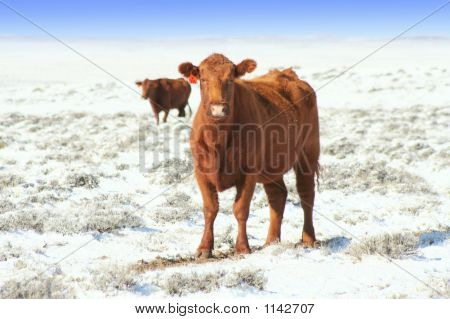 Cattle On The Snowy Range