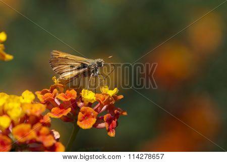 Skipper Butterfly on lantana flowers