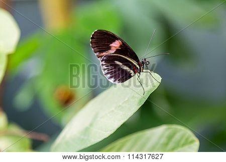 Black Butterfly With Pink Band