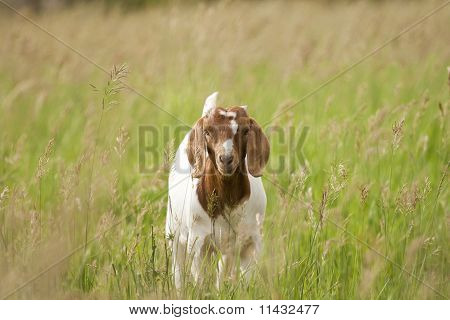 Boer Goat Kid Facing Camera