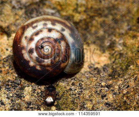 Kentish snail (Monacha cantiana)