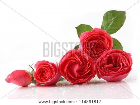 Five fresh roses reflecting on white background
