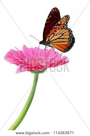 Fresh pink gerbera flower and monarch butterfly