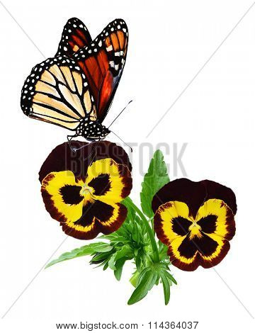 Yellow and brown pansy flowers and butterfly isolated on white