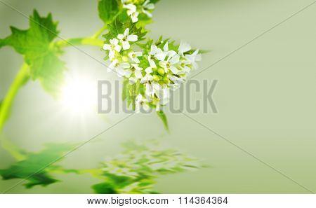 Green Alliaria officinalis Garlic mustard invasive plant