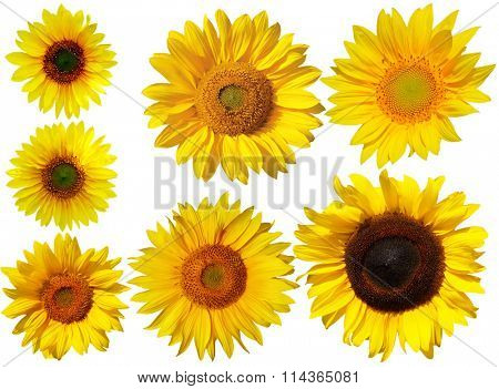 Set of sun flowers isolated on white background