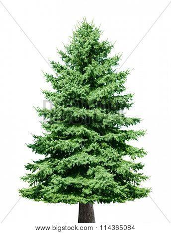 Single pine tree isolated on white background