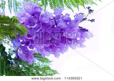 Jacaranda flower tree isolated on white background