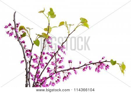 Cercis canadensis redbud shrub isolated on white