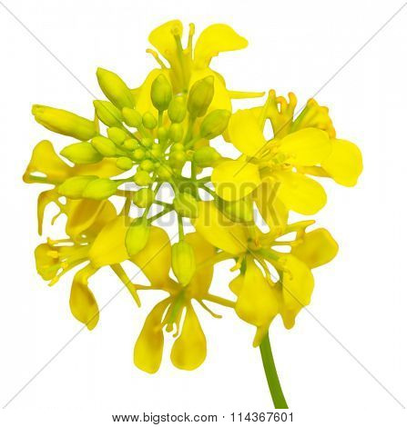 Close up of rapeseed flowers isolated on white