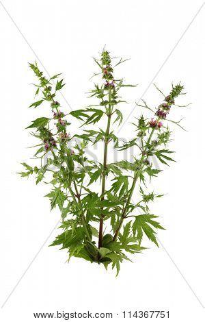 Wild bugle flower plant isolated on white background