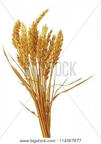 Bundle of beardless wheat isolated on white