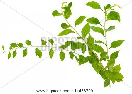 Three branches of Chinese Lycium Boxthorn isolated on white