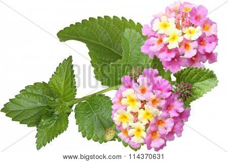 Fresh lantana flower isolated on white